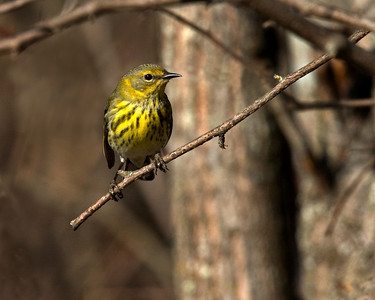 This female Cape May Warbler photograph was captured in Orr, Minnesota (5/08).  This photograph is protected by the U.S. Copyright Laws and shall not to be downloaded or reproduced by any means without the formal written permission of Ken Conger Photography.