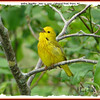 Yellow Warbler - June 14, 2009 - Cobequid Trail, Truro, NS