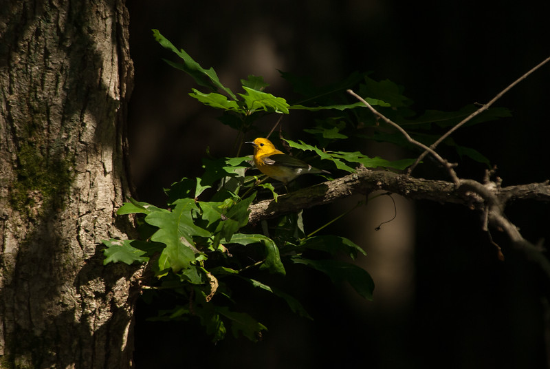 Prothonotary Warbler, Carbondale, Illinois.