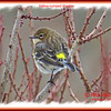Yellow-rumped Warbler - February 2, 2014 - Rainbow Haven, NS