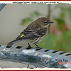 Yellow-rumped Warbler - October 15, 2006 - Lower Sackville, NS