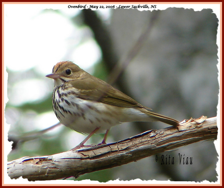 Ovenbird - May 22, 2006 - Lower Sackville, NS