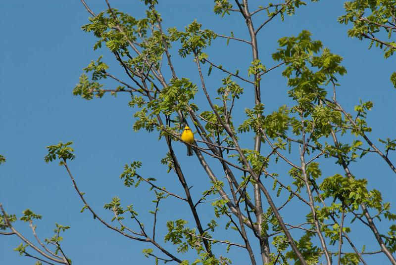 Blue-winged Warbler, Rock Bridge State Park, Boone County, Missouri.
