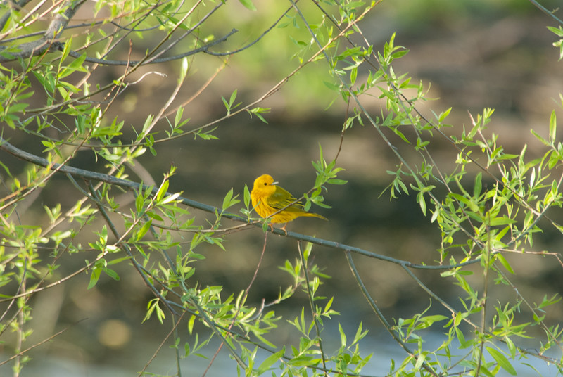 Yellow Warbler at Eagle Bluffs Conservation Area, McBain, Missouri