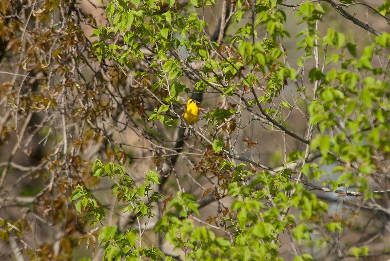 Blue-winged Warbler, Rock Bridge State Park, Boone County, Missouri.