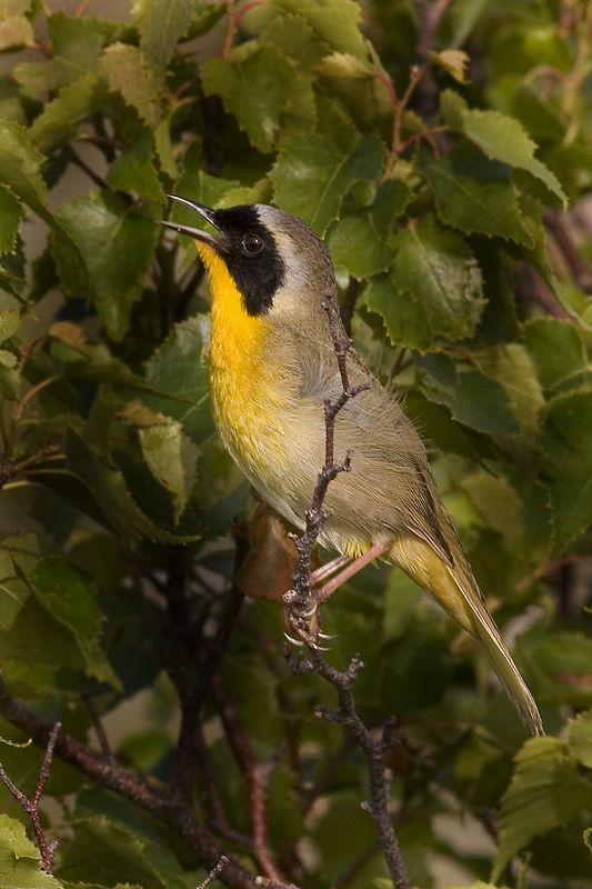 This  photograph of a Yellowthroat Warbler was taken in Acadia National Park (7/05).
