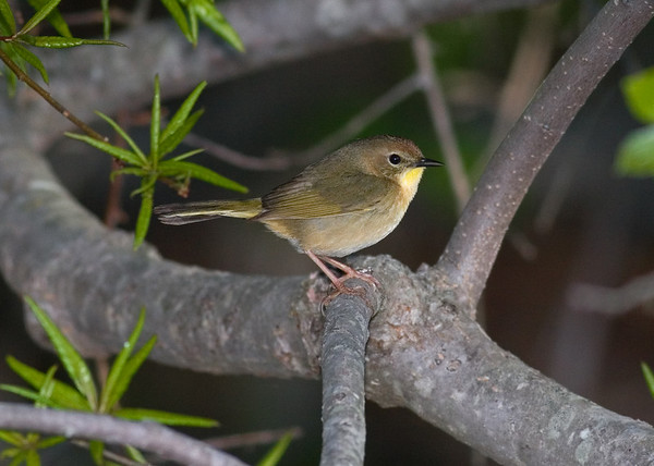 This female Common Yellowthroat photograph was captured in Bombay Hook National Wildlife Refuge in Delaware (5/07).
