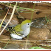 Chestnut-sided Warbler - September 6, 2008 - Lower Sackville, NS