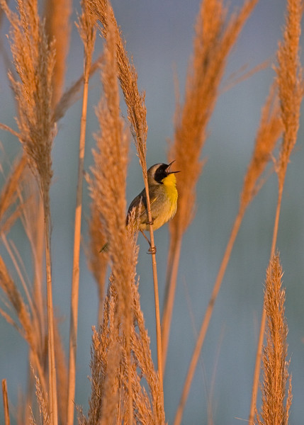 This male Common Yellowthroat photograph was captured in Bombay Hook National Wildlife Refuge in Delaware (5/07).
