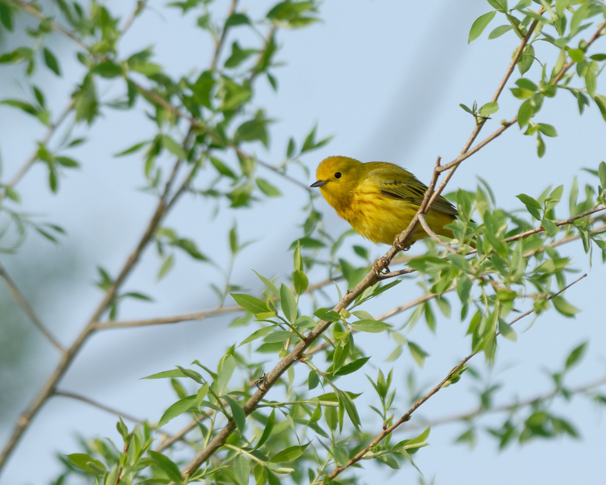 Yellow warbler. Eagle Bluffs Conservation Area, Boone County, Missouri.