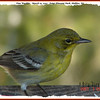 Pine Warbler - March 25, 2007 - Point Pleasant Park, Halifax, NS