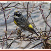 Yellow-rumped Warbler - May 18, 2008 - River Tillard, Cape Breton, NS