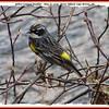Yellow-rumped Warbler - May 18, 2008 - River Tillard, Cape Breton, NS