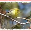 Pine Warbler - April 1, 2007 - Point Pleasant Park, Halifax, NS