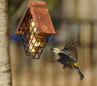 Hungry Yellow Rumped Warbler