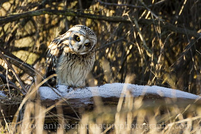 Short-eared Owl on a frosty log observing something moving in the grass.  Photo taken in Stanwood, Washington.