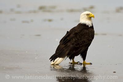 Bald Eagle at Grayland Beach along the Washington coast.