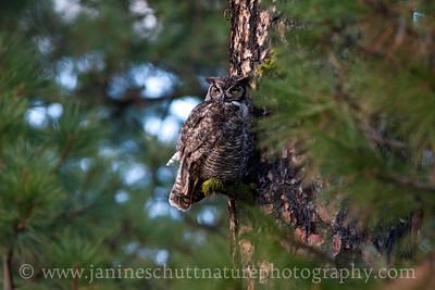Great-horned Owl roosting on a ponderosa pine tree at Turnbull National Wildlife Refuge near Cheney, Washington.