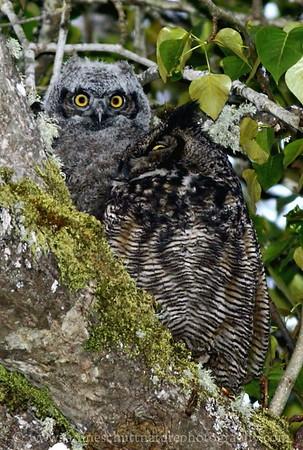 Great Horned Owl and owlet at Nisqually National Wildlife Refuge near Olympia, Washington.