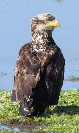 Juvenile Bald Eagle.  Photo taken from the Big Beef Bridge in Seabeck, Washington.