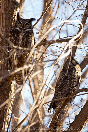 Great Horned Owl pair at Oasis Park in Ephrata, Washington.