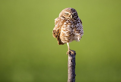 Burrowing Owl near Othello, Washington.