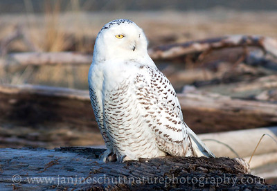Snowy Owl at Damon Point State Park in Ocean Shores, Washington.  Photo taken on Dec. 19, 2011.