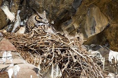 Great horned owl at its nest on a cliff of basalt rock.  Photo taken near Vantage, Washington.