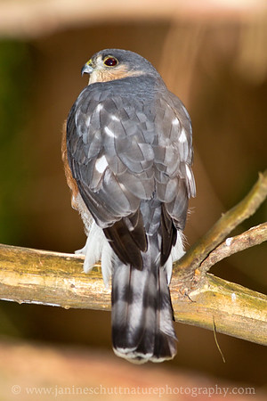 Adult Sharp-shinned Hawk near Bremerton, Washington.