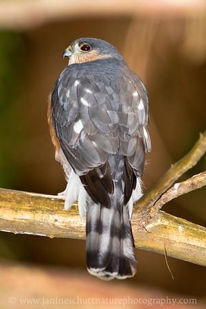 Adult Sharp-shinned Hawk near Bremerton, Washington.