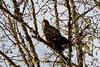 Skagit River Juvenile Eagle
