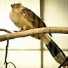 Guira Cuckoo - South America