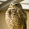 Burrowing Owl - Western US