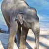 Kandula - Asian elephant born 11-25-01