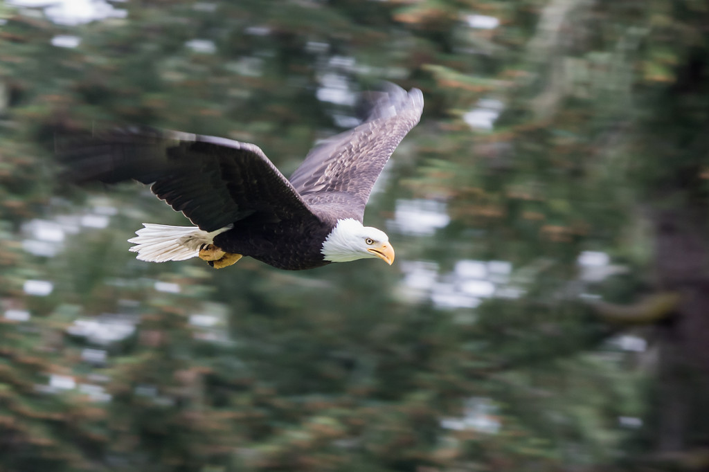 IMAGE: https://dante-aubert.smugmug.com/Nature/2015-05-10-Eagles/i-FVrbPTj/1/XL/2M3A4900-XL.jpg