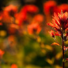 "Castilleja - ""Indian Paintbrush"" or ""Prairie-fire""  Kingdom: Plantae (unranked): Angiosperms (unranked): Eudicots (unranked): Asterids Order: Lamiales Family: Orobanchaceae Genus: Castilleja  <div class=""ss-paypal-button""><br><form target=""paypal"" action=""https://www.paypal.com/cgi-bin/webscr"" method=""post"" ><input type=""hidden"" name=""cmd"" value=""_cart""><input type=""hidden"" name=""business"" value=""947PXEXBHP9H8""><input type=""hidden"" name=""lc"" value=""US""><input type=""hidden"" name=""item_name"" value=""Castilleja - &quot;Indian Paintbrush&quot; or &quot;Prairie-fire&quot;  Kingdom: Plantae (unranked): Angiosperms (unranked): Eudicots (unranked): Asterids Order: Lamiales Family: Orobanchaceae Genus: Castilleja""><input type=""hidden"" name=""item_number"" value=""http:&#x2F;&#x2F;www.werthwildphotography.com&#x2F;Landscapes&#x2F;Landscapes-and-Cityscapes&#x2F;i-WpXs83T""><input type=""hidden"" name=""button_subtype"" value=""products""><input type=""hidden"" name=""no_note"" value=""0""><input type=""hidden"" name=""cn"" value=""Add special instructions to the seller:""><input type=""hidden"" name=""no_shipping"" value=""2""><input type=""hidden"" name=""currency_code"" value=""USD""><input type=""hidden"" name=""shipping"" value=""4.00""><input type=""hidden"" name=""add"" value=""1""><input type=""hidden"" name=""bn"" value=""PP-ShopCartBF:btn_cart_LG.gif:NonHosted""><table class=""printSize""><tr><td><input type=""hidden"" name=""on0"" value=""Print size"">Print size</td></tr><tr><td><select name=""os0""> <option value=""5 x 7"">5 x 7 $14.00 USD</option> <option value=""8 x 10"">8 x 10 $20.00 USD</option> <option value=""8 x 12"">8 x 12 $20.00 USD</option> <option value=""11 x 14"">11 x 14 $28.00 USD</option> <option value=""12 x 18"">12 x 18 $35.00 USD</option> <option value=""16 x 20"">16 x 20 $50.00 USD</option></select> </td></tr></table><input type=""hidden"" name=""currency_code"" value=""USD""><input type=""hidden"" name=""option_select0"" value=""5 x 7""><input type=""hidden"" name=""option_amount0"" value=""14.00""><input type=""hidden"" name=""option_select1"" value=""8 x 10""><input type=""hidden"" name=""option_amount1"" value=""20.00""><input type=""hidden"" name=""option_select2"" value=""8 x 12""><input type=""hidden"" name=""option_amount2"" value=""20.00""><input type=""hidden"" name=""option_select3"" value=""11 x 14""><input type=""hidden"" name=""option_amount3"" value=""28.00""><input type=""hidden"" name=""option_select4"" value=""12 x 18""><input type=""hidden"" name=""option_amount4"" value=""35.00""><input type=""hidden"" name=""option_select5"" value=""16 x 20""><input type=""hidden"" name=""option_amount5"" value=""50.00""><input type=""hidden"" name=""option_index"" value=""0""><input type=""image"" src=""https://www.paypalobjects.com/en_US/i/btn/btn_cart_LG.gif"" border=""0"" name=""submit"" alt=""PayPal - The safer, easier way to pay online!"" class=""btnPayPal""><img alt="""" border=""0"" src=""https://www.paypalobjects.com/en_US/i/scr/pixel.gif"" width=""1"" height=""1""></form></div><div class=""ss-paypal-button-end"" style=""display:none""></div>"