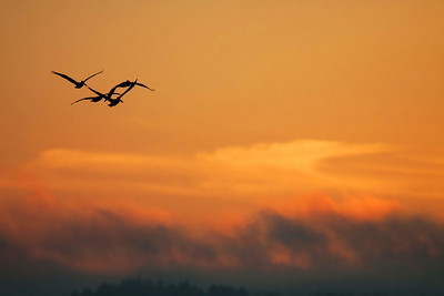 Brown Pelicans flying into the sunset, Chinook WA  Print size 5 x 7 $14.00 USD 8 x 10 $20.00 USD 8 x 12 $20.00 USD 11 x 14 $28.00 USD 12 x 18 $35.00 USD 16 x 20 $50.00 USD