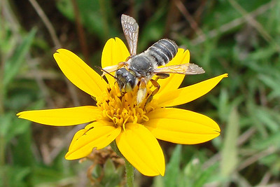 Megachile policaris male.  TX: Tarrant Co. (Duhons' Fort Worth yard), 5 September 2009.