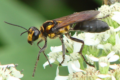 Sphex habenus (Digger Wasp) female. TX: Tarrant Co. (Duhons' Fort Worth yard), 18 September 2009.