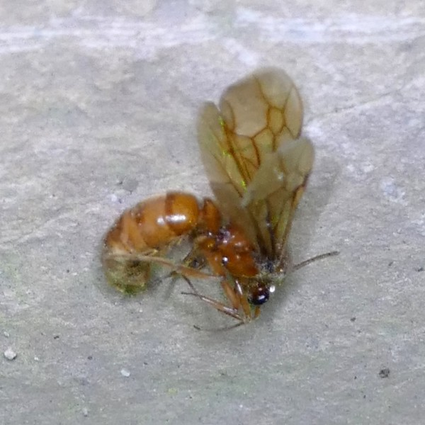 """P155NeivamyrmexLegAntSausFly748 Apr. 14, 2016  6:53 a.m.  P1550748 This """"Sausage Fly"""" is actually an ant, a Neivamyrmex species Legionary Ant, in the breezeway ate LBJ WC.   He may have found some poison.  Formicid."""