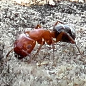 P168CamponotusSayi737 July 6, 2017  8:40 a.m.  P16800737 A hair better and this would be a good look at Camponotus sayi Carpenter Ant.  Two red segments and one black was supposed to e a good clue to this one.  Seen on the 2d level of the tower at LBJ WC.  Formicid.