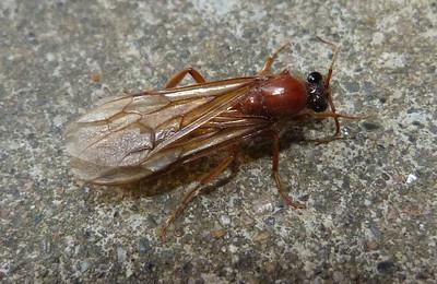 P101LegionaryAntNeivamyrmex829 Apr. 21, 2011  8:27 a.m.  P1010829 A male Legionary ant, Neivamyrmex sp., also called a sausage fly.  LBJ WC.  Formicid.