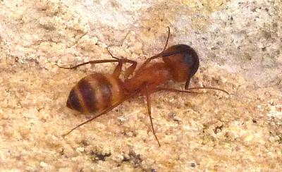 P132CamponotusFestinatus0197 Dec. 19, 2013  8:53 a.m.  P1320197 Close look at a Camponotus festinatus Carpenter Ant major worker at LBJ WC.  Note the large head.  Formicid.