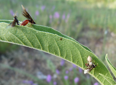 P116CarebaraLongiiQandMAntsWJumperAndM2dAnt051 Aug. 30, 2012  8:18 a.m.  P1160051 In the midst of the queen and male ant business (Caebara longii) the second male falls prey to a Peppered Jumper.  Formicid.
