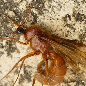 P164NeivamyrmexSpLegionaryAnt-SausageFly769 Mar. 9, 2017  7:50 a.m.  P1640769 This Sausage Fly, otherwise known as Legionary Ant, a Neivamyrmex species, was barely alive at the night light at LBJ WC.  Formicid.