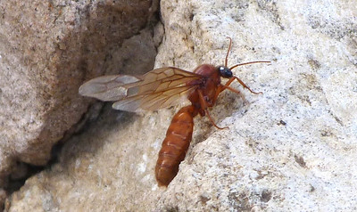 P123NeivamyrmexLegionaryAntSausageFly043 Mar. 14, 2013  9:33 a.m.  P1230043 Here is a better look at the Sausage Fly--the Neivamyrmex Legionary Ant--at Lady Bird Johnson Wildflower Center.  Formicid.