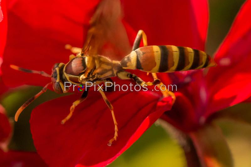 Wasps at Aboretum 6-6-15