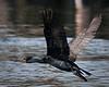 A Cormorant takes flight.  Sheepscot River, Maine.