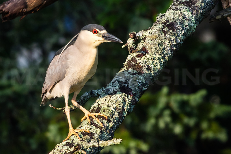 MIP BLACK CROWNED NIGHT HERON-8437
