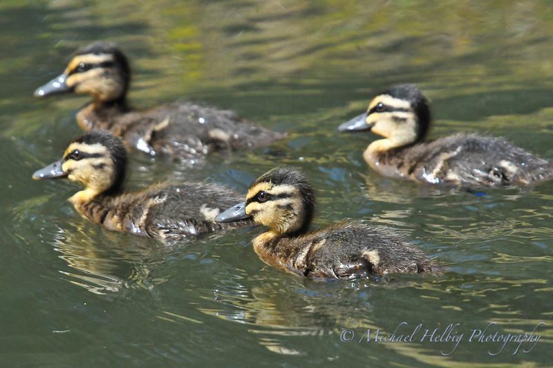 Garganey Ducklings - Perth
